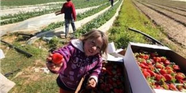 İşgal Rejiminin Tarıma Yönelik Saldırılarına Rağmen Gazze'de Çilek Avrupa'ya İhraç Edilen Ürünlerin Başında Geliyor…