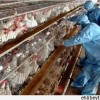 Cenin'de 17500 Piliç Kuş Gribinden Dolayı İmha Edilecek