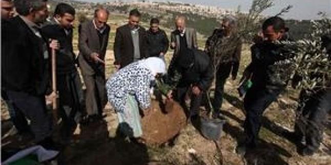 Filistinliler Gasp Tehdidiyle Karşı Karşıya Kalan Bölgeye Zeytin Ağacı Diktiler…