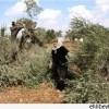 Siyonistler Dün El-Halil'de 250 Zeytin Ağacını Telef Etti