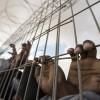 Onlarca Filistinli esir açlık grevinin 36. gününde hastaneye kaldırıldı
