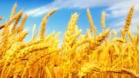 İran buğday üretiminde kendine yeter hale geldi