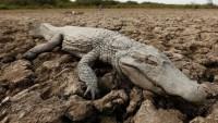 Paraguay'da şiddetli kuraklık hayvanları vurdu
