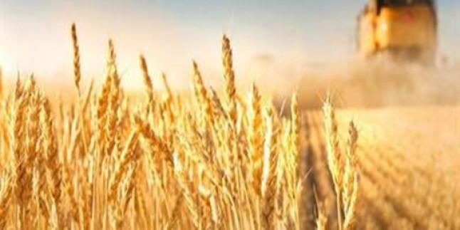 İran'da üretilen buğday, dünyanın en sağlıklı buğdayı