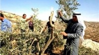 İşgal Güçleri Nablus'un Güneyinde Yüzlerce Zeytin Ağacını Söktü.