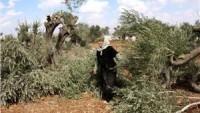 Yahudi Yerleşimciler El-Halil ve Beytlahim'de Onlarca Zeytin Ağacını Telef Etti.