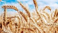 Buğdayın Anavatanı Olan Türkiye Buğday İthalatında Dünya Birincisi Oldu!