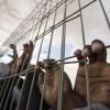 Açlık grevindeki Filistinli esirler belirsiz yere intikal ettirildi