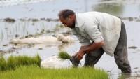 İran, Orta ve Batı Asya pirincinin %61'ini üretmekte