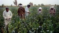 Afganistan'da Haşhaş ekimi tehlikeli boyutta arttı