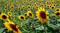 Devletin Kalkınma Politikası; Çiftçi Değil, Yabancı Yatırımcı Kazansın!