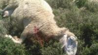 Siyonistler Filistinli Bir Çiftçiye Ait 10 Koyunu Boğazladı 