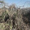 Yahudi Yerleşimciler Nablus'un Güneyinde Onlarca Zeytin Ağacını Söktü 